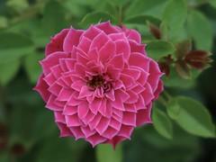 Perfect Form (Robert Cowlishaw (Mertonian)) Tags: deeppinkalmostpurple deeply passion nature canon powershot g1x mark iii canonpowershotg1xmarkiii mertonian robertcowlishaw gratitude ineffable awe wonder gardenwalk forwisdommyconstantcompanion