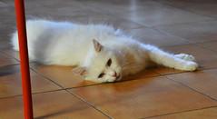 not enjoying these high temperatures #2: bob (bobinskiii) Tags: cat cats bob summer hightemperature hot heat icanttakeitanymore itsalltoomuch pet pets feline felines cute white