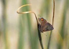 Satyrium sylvinus desertorum - 'Desert' Sylvan Hairstreak (PorchPhoto) Tags: nikon nikond5600 garden monroviacalifornia butterfly bug insect wings