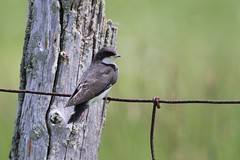 tree swallow juvenile / Hirondelle bicolore juvénile ( serie 2 / 2 ) (ricketdi) Tags: hirondellebicolore tachycinetabicolor treeswallow