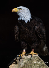 This is Sam (muppet1970) Tags: baldeagle eagle banhamzoo captive birdofprey rock zoo bird