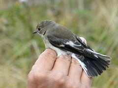 Pied Flycatcher (chdphd) Tags: ficedulahypoleuca ficedula flycatcher dorset