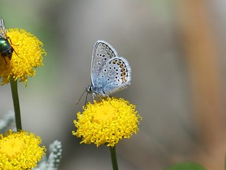Silver-Studded Blue P1860898