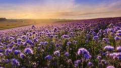 Purple Tansy (pixellesley) Tags: purpletansy flowers covercrop fields purplefields sundown sunset summer crops farming agriculture landscape lesleygooding northumberland uk