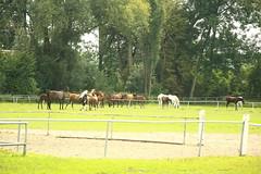 036A7687 (zet11) Tags: the janów podlaski stud horses cattle pasture field sky grass tree road building architecture