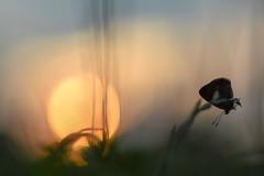 Butterfly (agnieszka.a.morawska) Tags: makro macro dof bokeh bkhq beyondbokeh bokehlicious summer mood nikon helios helios44m nature sunset meadow butterfly