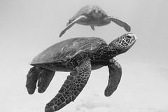 IMG_0316A (Aaron Lynton) Tags: snorkel snorkeling maui hawaii underwater turtle turt turtles canon 7d paradise diving freediving onebreath