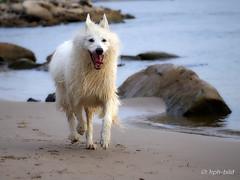 Schöner Tag heute! (Brenda-Gaudi) Tags: rheinwiesen rhein hunde brenda weisseschaeferhunde germany hund tier wasser fluss