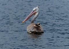 Spot-billed Pelican (Pelecanus philippensis) (forest - Tks 6.1M+ views. 1st Year Completion...) Tags: water bird lake landscape marsh land marshland spotbilled pelican spotbilledpelican