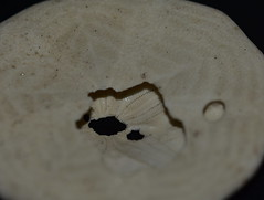 Sand Dollar (Dreaming of the Sea) Tags: macromonday nikond7200 shell sand sea tamronsp90mmf2811macro macro animal decay