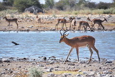 Black faced impala (Giulia La Torre) Tags: namibia africa nature wild travel traveling photography etosha national park etoshapark wildlife life fauna animali animals travelphotography