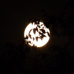 The day after supermoon (ursula.valtiner) Tags: mond moon vollmond fullmoon supervollmond supermoon blätter leaves nacht night