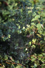 Photo#217-Spider's Pearls (☼☼ Jo Zimny Photos☼☼) Tags: 366the2016edition web spider inthebushes spiderspearls 365the2018edition 3652018 day217365 05aug18