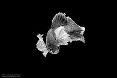 Purple Dumbo B&W (Francis.Ho) Tags: betta fauna siamese fightingfish marco closeup blossoming pet bettasplendens bettafish underwater abstract fin tail thailand movement motion visarute luxury elegant monochrome blackwhite bw 黑白