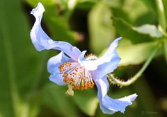 REFORD GARDENS   |      EMBLEM  |   |     BLUE POPPY   |  PAVOT BLEU          |     REFORD GARDENS  |      LES JARDINS DE METIS  |  METIS   |  GASPESIE  |  QUEBEC  |  CANADA (J P Gosselin) Tags: reford gardens | emblem blue poppy pavot bleu les jardins de metis gaspesie quebec canada canon 7d 7dmarkii rebel t2i canonrebelt2i eos canon7d markii rebelt2i canonrebel canont2i eost2i eos7d eos7dmarkii mark 2 mark2 eos7dmark2 canon7dmarkii ii canoneosrebelt2i canoneos7d canoneos ph:camera=canon