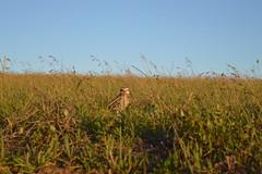 Corujas nos Campos Gerais (Photo MotoBoy) Tags: owl corujas paraná pontagrossa camposgerais natureza