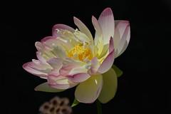 Denver Botanic Garden   2018.08.07   Lotus flower (Kaemattson) Tags: denverbotanicgarden denver co colorado denverbg denvergarden garden august summer milehighcity lotusflower lotus waterlilypond