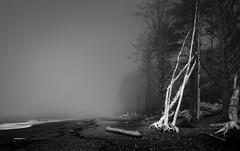 Rialto Beach Trees (Steve Deligan) Tags: black white rialto beach rialtobeach pacific ocean sea coast wa lapush olympicpeninsula seattle blackandwhite nikon d800 lightroom fineart fog
