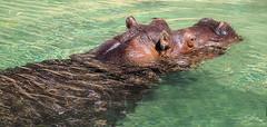 Hungry Hungry Hippo (Vanessa wuz Here) Tags: 105mm 7dwf fauna hipo hippopotamus pool water zoo torontozoo toronto ontario summer copyrightvanessabartosek