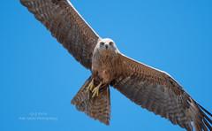 Black Kite (Red Gecko Photography) Tags: red black kite predator raptor eagle bird prey spain andalucia seville
