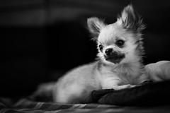Giuseppe (Arnez_) Tags: pets dogs portrait bw black white gm 85 puppy chihuahua explore