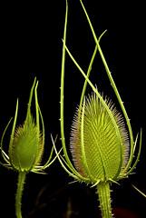 Green and black (Kat-i) Tags: blumen schliersee bayern deutschland flower samenstand samenkapsel seed natur nature grün green black schwarz macro makro nikon1v1 kati katharina 2018