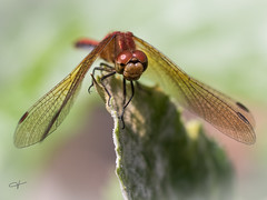 Dragonfly (Jan Whybourne) Tags: dragonfly macro red blur wings bug eyes insect