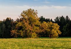 Bäume auf der Wiese (Bernhard Schlor) Tags: seasons summer country graz österreich europa lété austria natur pflanzen baum jahreszeiten europe sommer steiermark autriche styria tree at
