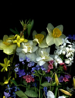 59072.01 Narcissus, Forsythia, Uvularia grandiflora, Hyacinthus orientalis, Mertensia virginica, Pulmonaria officinalis, Pulmonaria saccharata, Scilla siberica, Erythronium americanum, Trillium grandiflorum