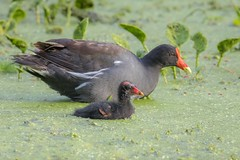 Bodyguard (gseloff) Tags: commongallinule bird feeding chick duckweed water brazosbendstatepark nature wildlife animal gseloff