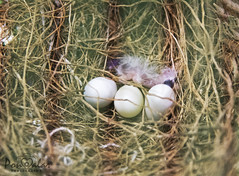 Baby finch (dr_malar) Tags: bird birds egg eggs finch finches zebrafinch babyfinch nestling beautiful love babybird nature pet pets nikon nikond750