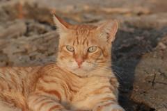 IMG_0150 Rubio, Mallorca (Fernando Sa Rapita) Tags: rubio cat gato mascota pet canon eos200d canoneos