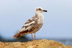 Juvenile Western Gull? (Lynn Tweedie) Tags: rock tail pacificocean water westerngull canon ngc sea ocean feathers sigma150600mmf563dgoshsm bird fortbraggca eos 7dmarkii animal juvenile