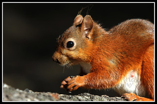IMG_0023 Red Squirrel