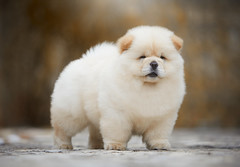 Puppy (Alexandremqs) Tags: explore expression yourbestoftoday yellow warm colors dogs doglove dogshow breed chowchow canon portugal portrait pets perro photography smile puppy