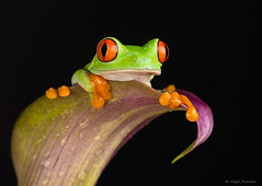 w-red-eyed-tree-frog-1 (thirsty_camel) Tags: macro canon 5d frog green eyed tree treefrog