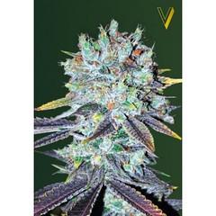 fem_original_blueberry-600x600 (Watcher1999) Tags: original berry extreme indica cannabis kush weed buds great big bud medical seeds marijuana growing smoking ganja reggae legalize it