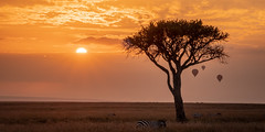 Hot air balloons over the Maasai Mara grazers at sunrise_.jpg (Darren Berg) Tags: zebra maasai masai mara kenya sunrise graze wildebeest balloon hot air hotair golden rays sun sunray