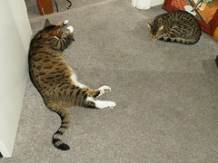 William and Tiny Tribble are cousins of the same age! (rospix+) Tags: rospix 2018 june uk shropshire animal cat tabby cats tabbycats william tribble trilliam sleep sleeping