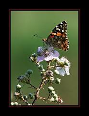 Il favoloso mondo di Antelie (59) on Explore Jun 24, 2018 - 160 (Jambo Jambo) Tags: farfalla butterfly fiori flowers macro sonydscrx10m4 jambojambo rovo fioridirovo rubusulmifolius bramble cynthia vanessa