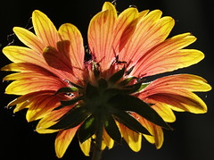 0 prairie blanket (JoelDeluxe) Tags: flowers southvalley newmexico joeldeluxe