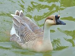 African Goose (Bob Silver ☺) Tags: african goose bird