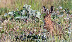 Brown Hare About To Break Cover (Steve (Hooky) Waddingham) Tags: stevenwaddinghamphotography animal countryside nature wild wildlife fast run photography game