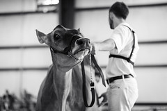 jersey (Jen MacNeill) Tags: cows cow cattle bovine dairy agriculture bnw blackandwhite boy 4h teenager show fair lebanonareafair farm animals
