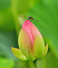 Alone (CU TEO MD) Tags: dragonfly lotus pink thewildlife wildlife flower ngc twop soe artofimages simplysuperb naturebynikon nikon tamron70200mm outdoor garden insect maryland macro macrodreams macrophotography