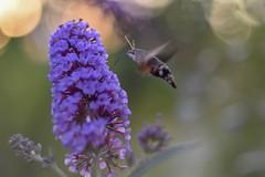 Macroglossum stellatarum (agnieszka.a.morawska) Tags: manualfocus manuallens helios helios44m bkhq beyondbokeh bokehlicious macroglossumstellatarum fruczakgołąbek macro garden dof bokeh butterfly motyl