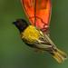 Golden-backed Weaver - Baringo - Kenya_NH8O1102