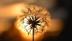 Evening in the dandelion field (ambo333) Tags: brampton cumbria england uk dandelion dandelions seed seeds sunset