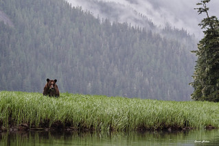 Khutzeymateen Valley: Clouds, Bears and Grass DSC_8783Aug 05 2018