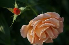 DSC08390- Peach Cloudy Angel (oliveplum) Tags: orchidextravaganza rose gardensbythebay flowerdome leica60f28macro sony singapore bokeh peach